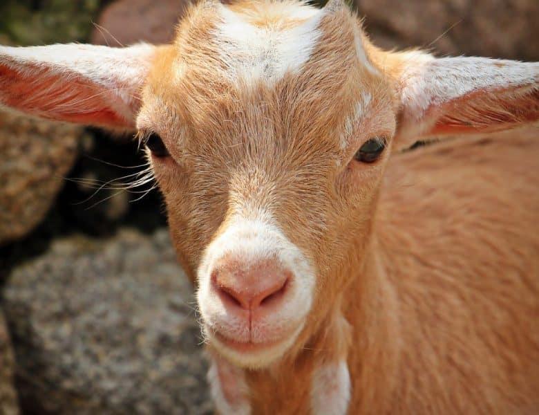 Le lait de chèvre : la nouvelle cocluche de la slow cosmétique