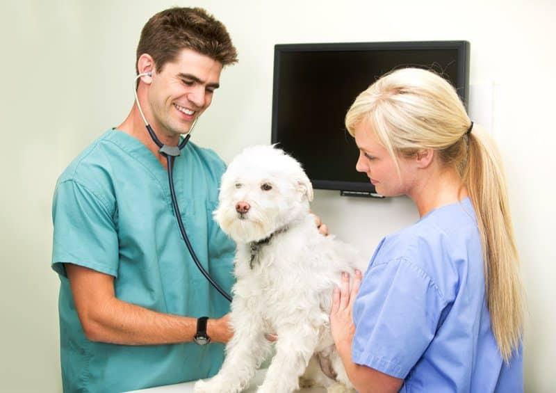 Comment devenir auxiliaire spécialisé(e) vétérinaire